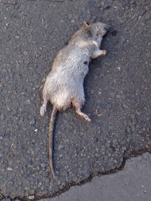 paris,rats,square-alban-satragne