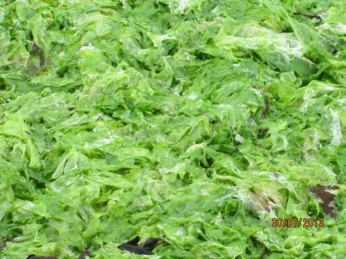algues vertes, bretagne, douarnenez,plage