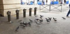 paris, Barbès, pigeons, nourrissage-interdit