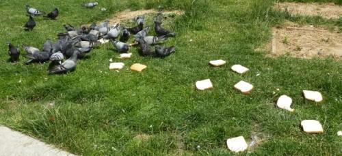 paris,pigeons,nourrissage,nuisance